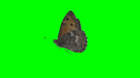 Butterfly on green screen, Live Action