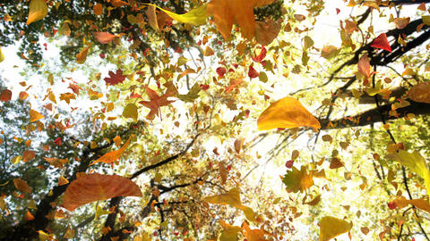 Autumn Leaves From Above - Realistic Atmospheric Video Background Loop Animation