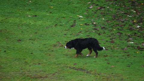 Bernese Mountain Dog on meadow Footage