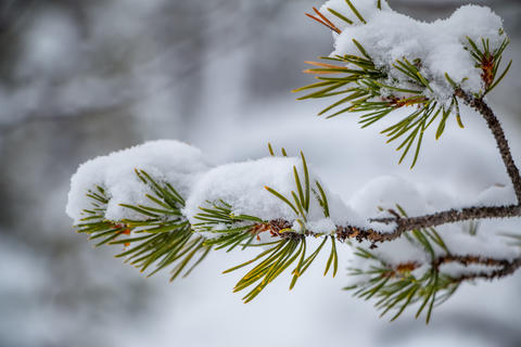Snow-Covered Branch with Needles Close-Up フォト