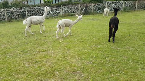 Llamas in a Field 2 Live Action