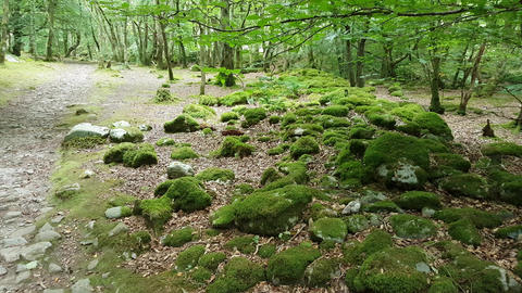 Woodland Area With Moss Covered Rocks Footage