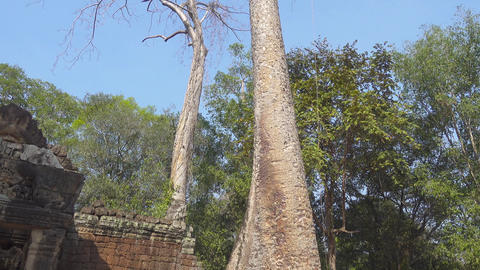 Tree on the ruins of the temple in Angkor Wat Footage