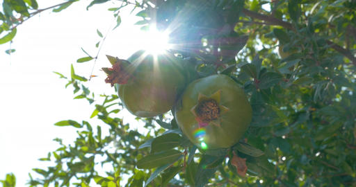Close-up of two pomegranates hanging on branch Footage