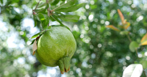 Close-up of unripe pomegranate hanging on branch Footage
