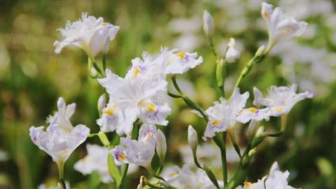 Japan 日本 白い花が揺れる Hana 0017 ビデオ
