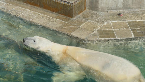 Polar bear swims in the water Footage