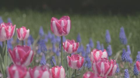 Tulip Flowers,at Showa Memorial Park,Tokyo,Japan,Filmed In 4K stock footage