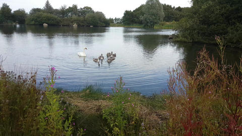 Swan and cygnets on a countryside pond Footage