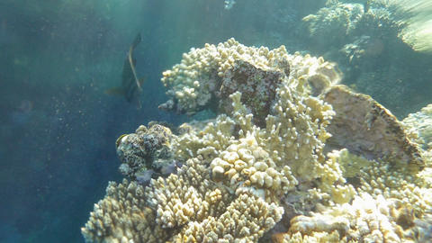 Red Sea Sailfin Tang Eating The Corals Footage
