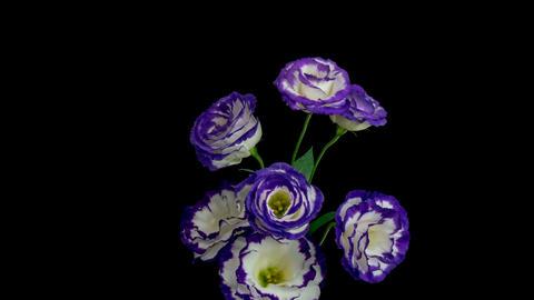 Turkey bloomed into beautiful bellflower 영상물