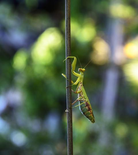 green big mantis crawling up the stick Photo