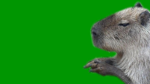 Capybara Animation