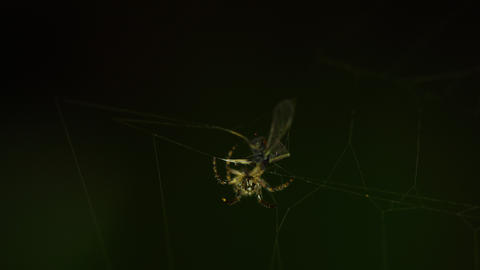 Spider on the web, wraps midge in cocoon Live Action