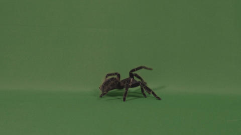 Big hairy spider tarantula walking on green screen and defending by throwing Live Action