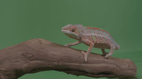 Beautiful colored chameleon sitting on a branch studying the environment green Footage