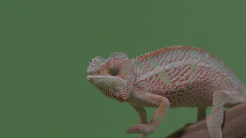 Closeup of gorgeous orange reptile chameleon sitting on bamboo branch chroma key Live Action
