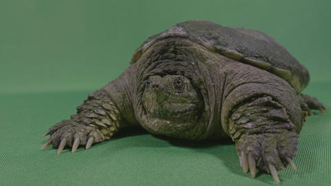 Closeup of old turtle snapping alligator or common snapping turtle with chroma Footage