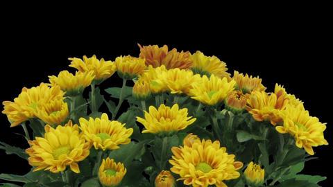 Time-lapse of opening orange chrysanthemum flower in RGB + ALPHA matte format 圖片