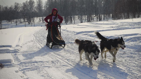 Pair of husky sled dogs with dog-driver Footage