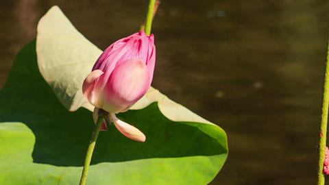Wind Shakes Pink Lotus Flower Bud by Round Leaf GIF