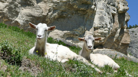 Goats Lie On A Slope Of Mountains stock footage