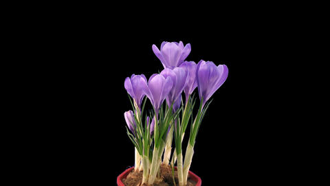 Time-lapse of growing and dying purple crocus, 4K with ALPHA channel Footage