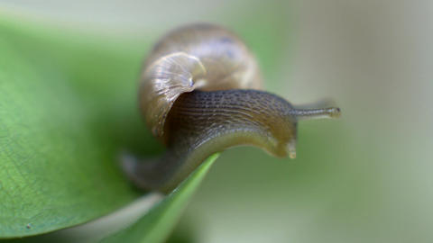 Snail looking downward on a leaf Footage