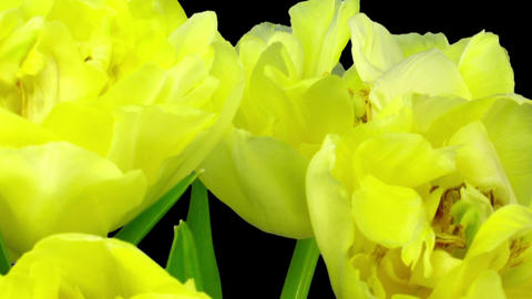 Time-lapse opening yellow tulip bouquet in RGB + ALPHA matte format Footage
