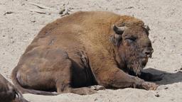 European bison. Bison bonasus, wisent Live Action