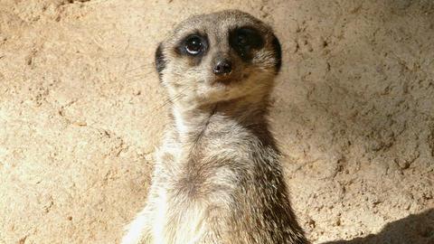 Portrait of vigilant meerkat.(Suricata suricatta) Footage
