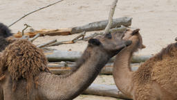 The dromedary camels. Mother and young camel are playing together Footage