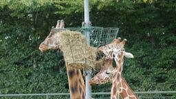 Rothschild's giraffe. Giraffa camelopardalis rothschildi Footage
