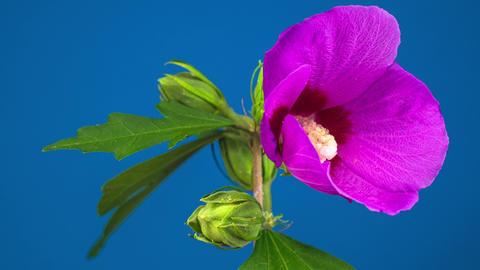 Pink Hibiscus Flower Blooming 영상물