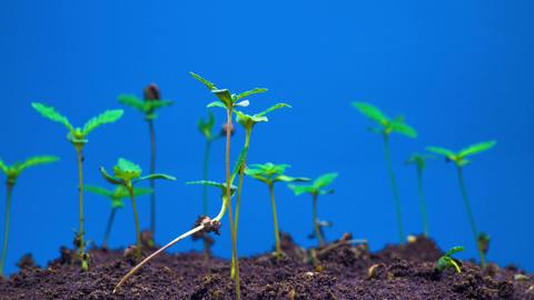 Marijuana Plant Growing 영상물