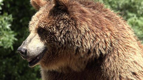C0311 wild brown bear in wilderness Footage