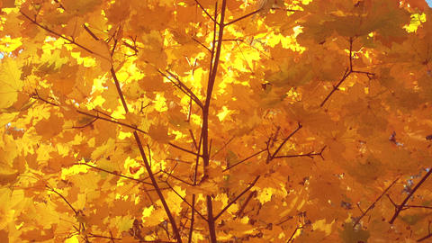 Beautiful golden autumn leaves on a wind, maple Footage