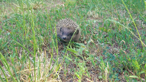 Tiny hedgehog on a meadow is looking for something ビデオ