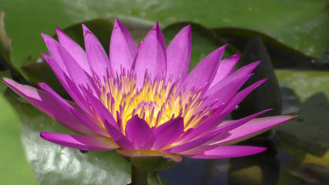 池に咲く睡蓮の花 ビデオ