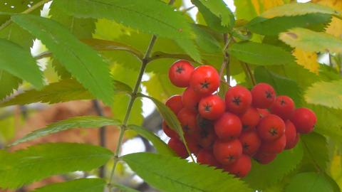 Bright Red Rowan berries swaying wind Footage