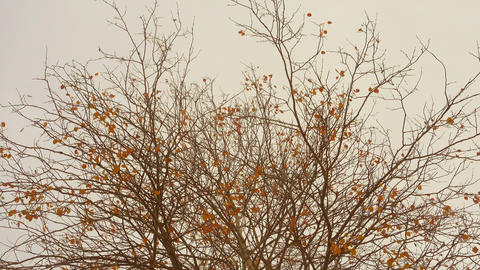 Last golden autumn leaves sway in a wind at overcast day Footage
