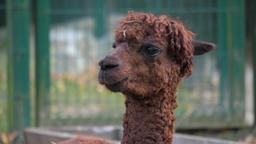 An alpaca (Vicugna pacos) portrait Stock Video Footage