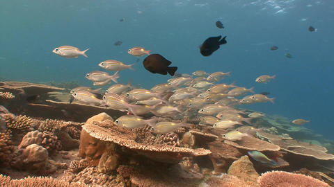 A flock of colorful tropical fish. Diving on the reefs of the Maldives archipela Footage