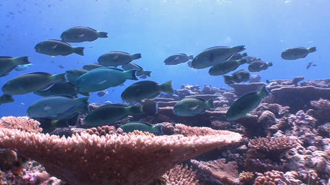 A flock of colorful parrots fish Footage
