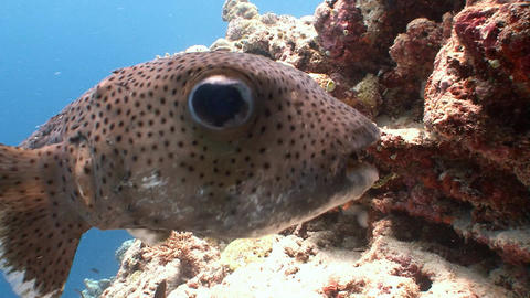 Funny and very trusting puffer fish Live Action