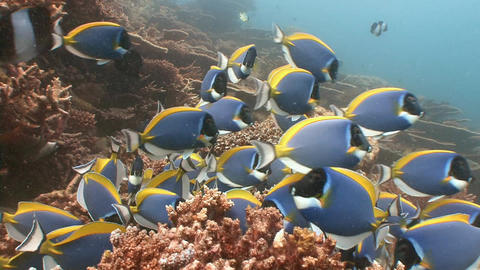 A flock of fish blue tang surgeons. Diving on the reefs of the Maldives archipel Footage