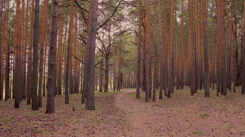 Tall pines in pine forest swaying in wind and forest path between trees Live Action