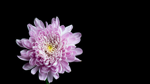 Flowering of chrysanthemum Footage