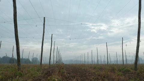 Low angle panning video of a hops field on an early autumn morning 영상물