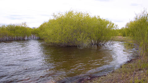 Tranquil landscape with green willow bushes growing in water Footage